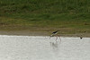 échasse blanche (gigibellevue) Tags: oiseau échasse somme marquenterre