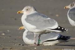 Adult Herring Gull Green YBNB - 20171127 (little-W | Studying gulls) Tags: larusargentatus scandinavian herring gull