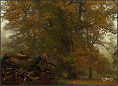 Autumn Oak. (Picture post.) Tags: landscape nature green mist autumn oak trees fallenbranches