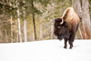 Bison in the Snow- (ChadBarry) Tags: parcomega bison mammal mammals quebec snow winter