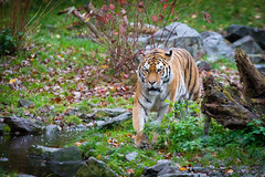 Siberian Tiger (Mathias Appel) Tags: tiger zoo tierpark deutschland germany animal cat katze feline sibirischer siberian panthera tigri predator carnivore animals tier tiere ussuritiger amurtiger tigris altaica fell fur pelz pelzig eyes eye pretty natural nature natur streifen stripes orange white green weiss weis grün アムールトラ амур къэплъан siberiese ببر سيبيريعدل tigre de sibérie tigresiberiano duisburg
