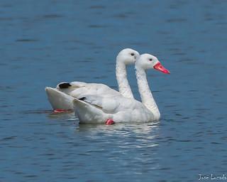Cisnes coscorobas