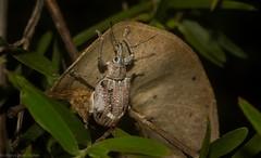Leptopiini (dustaway) Tags: arthropoda insecta coleoptera curculionidae entiminae leptopiinae weevilbeetle australianbeetles tamborinemountain mounttamborine sequeensland nature queensland australia australianwildlife
