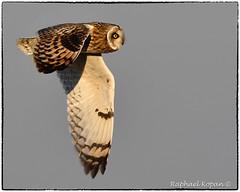 Short Eared Owl near Hitler Pond (RKop) Tags: d500 nikkor600f4evr handheld raphaelkopanphotography pickawaycounty ohio nikon shortearedowl