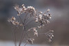 Tomorrow (christopherdeacon) Tags: afternoon outdoors winter meyeroptik meyeroptiktrioplan seeds field nature dof depthoffield fujifilmxt1 brown