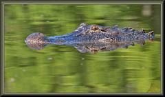 The Monster from the Green Lagoon (WanaM3) Tags: wanam3 nikon d7100 nikond7100 texas pasadena clearlakecity horsepenbayou bayou outdoors nature wildlife canoeing paddling reptile lizard gator alligator alligatormississippiensis