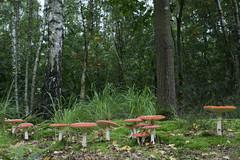 Bulskampveld - Beernem -Belgium (wietsej) Tags: bulskampveld beernem belgium a6000 sel24f18z 24mm zeiss sony mushroom paddestoel fungus vliegenzwam nature