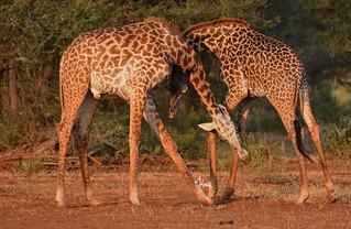 Two bull giraffes necking (fighting) - 6882b+
