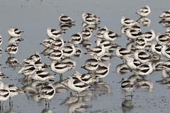 Patterns D4A9935.jpg (BobLewis) Tags: santaclaraco americanavocet birds recurvirostridae paloalto california unitedstates us