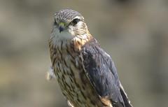 Merlin (Dave Brotherton Wildlife Photography) Tags: bird birds birdsofprey merlin falcon raptors nikon nature ngc portrait plumage wildlife tamron tamron150600 d7100 davebrothertonphotography