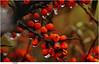 Sanddorn im November (Lutz Koch) Tags: sanddorn regen tautropfen tropfen hippophaerhamnoides november orange beeren frucht fruit borkum nordsee northsea commonseabuckthorn drops seabuckthorn dünendorn audorn fasanenbeere haffdorn seedorn roteschlehe vitaminc sauer sour elkaypics lutzkoch