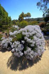 Cranbourne RBG -smoke bush-Nov 2017 078 (Graeme Butler) Tags: water landscape history gardens australianplants architecture victoria australia