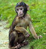 barbarymacaque apenheul BB2A0107 (j.a.kok) Tags: berber barbarymacaque barbarymonkey berberaap apenheul aap monkey mensaap zoogdier dier makaak macaque macacasylvanus