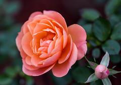 Rose (LuckyMeyer) Tags: flower fleur pink rosa green makro pflanze plant blume blüte garden