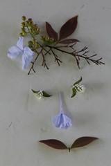 A Nature's Smiley - Explored (Carol (vanhookc)) Tags: smileonsaturday selfmadesmiley faceofnature face flowers horticulturalart inexplore plumbego nandina floralconstruction botanical wildclover