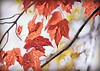 Love the trees until the leaves fall off, then encourage them to try again next year!       Chad Sugg (nushuz) Tags: leaves foliage treesinmyyard stillhangingon redmaple birch redandgold dof itwasarainyday pretty vermont windy