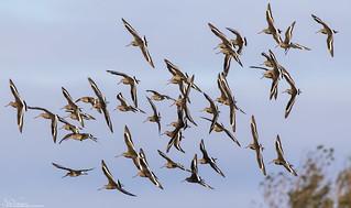 Banking Black-Tailed Godwits