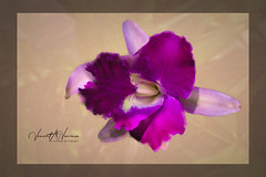 Purple on Canvas (Visions by Vincent) Tags: flowers florida marieselbygardens orchids topaz