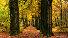 Old trees, narrow path (BraCom (Bram)) Tags: 169 bracom bramvanbroekhoven holland nederland netherlands noordbrabant northbrabant roosendaal visdonk autumn boom boomstam bos branches fall foliage forest gebladerte herfst leaves mos moss nature natuur pad path takken tree treetrunk widescreen