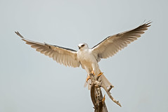White tailed kite (knobby6) Tags: whitetailedkite blackshoulderedkite raptor hawk birdofprey california d5 500mm 17tc