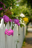 Springtime Flowers and Fence (Katrina Wright) Tags: dsc3302 fence fencedfriday flowers pink petals street whitefence garden curb phlox fuchsia