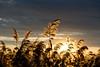 Dancing Reeds (ΛKIS.DΛL) Tags: nature landscape sun sunset clouds nikond3400 sigma1750