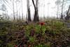 IMG_4850b (ManFromOz) Tags: ©geoffsmith gemaxphotographics mountainashtrees mist blackheath bluemountains waratah