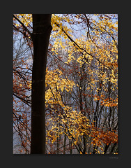 yellow-explosion (OdenWALDfotograf) Tags: hessen odenwald herbst autumn fall bunt farben forest november
