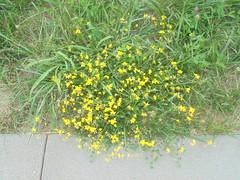 184 (en-ri) Tags: fiorellini giallo verde erba grass prato sony sonysti