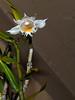 Dendrobium longicornu species orchid (nolehace) Tags: fall nolehace sanfrancisco fz1000 dendrobium longicornu species orchid 1017 flower bloom plant