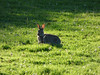 Alert (Lexie's Mum) Tags: continuing30dayswild walking walks walkingthedog nature wildlife scenery floraandfauna evening sunlight rabbit