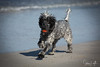 2017 - 11_25 - Animals - Dogs - Gertie 05 (stevenlazar) Tags: beach ocean sand water gertie outerharbor 2017 dog australia southaustralia adelaide waves
