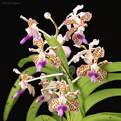 Vanda tricolour var Suavis (Harlz_) Tags: vandatricolourvarsuavis vandatricolour vandatricolor vanda orchid species flower bloom photo studio image