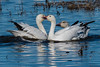 Kissing Snow Geese (MelRoseJ) Tags: willows california unitedstates us sonyalpha sony alpha a77ii autofocus sonyilca77m2 sal70200g nature snowgeese geese colusa sacramentonwl