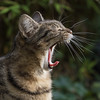Monday Mood (AnyMotion) Tags: mondayface yawn yawning gähnend nelli pet cat cats katze katzen animals tiere garden portrait porträt 2017 anymotion tabby getigert atigrada félin chat gata 7d2 canoneos7dmarkii square 1600x1600