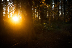 setting sun-12 (sebboh) Tags: carlzeisscontaxg28mmf28biogon sonya7kolariut zeissrokkorfrankenlens optosigma5mplanoconvexfilter forest sunset bokeh trees portland oregon pdx flare landscape