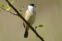 Caboclinho branco DSC_1090 (oliprioli) Tags: aves brazil birdwatching birds observação de pássaros bird sporophila pileata caboclinhobranco