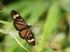 Actinote carycina (Cristofer Martins) Tags: graciosa estradadagraciosa graciosaroad landscape paraná nature butterfly wildlife