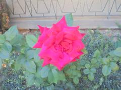 090 (en-ri) Tags: rosa rose sony sonysti aiuola