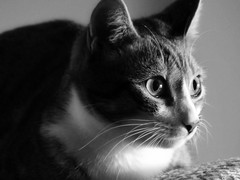 Wide-Eyed Odie (nikagnew) Tags: cat tabby blackandwhite portrait whiskers adopt light soft