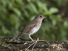 Gray-cheeked Thrush (Catharus minimus) (Gmo_CR) Tags: catharusminimus graycheekedthrush zorzalcarigrís conchita costarica coronado patiodeagua
