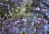 2017 University of Sydney Jacaranda Trees #3 (dominotic) Tags: 2017 flowers jacarandatree purple inthesky bluesky universityofsydneyjacarandatrees sydney australia