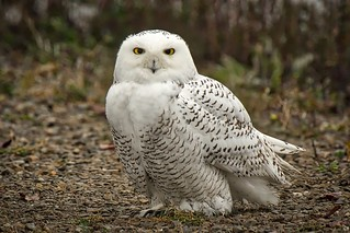 Down From The North:  Snowy Owl