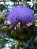 Soak the Artichoke (Steve Taylor (Photography)) Tags: thistle art digital mauve brown green singapore asia flower bokeh artichoke flowerdome gardensbythebay