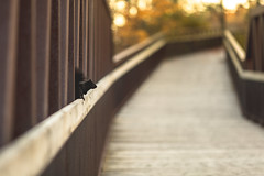 keeper of the bridge (Marc McDermott) Tags: bridge squirrel black fall autumn animal wild wildlife ef135mmf2lusm rodent structure