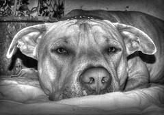 CONAN_MONO 2 (juankos810) Tags: pitbull mascota dog conan amstaf