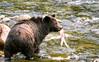 Bear Bum (Spectacle Photography) Tags: grizzly grizzlybear bear river atnarko ursusarctos salmonrun salmon bellacoola valley britishcolumbia canada westerncanada northamerica wildlife wildlifewatching spectaclephotography