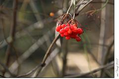 Vogelbeeren (Mr.Vamp) Tags: mrvamp vamp natur landschaft vogelbeeren beeren herbst wald nature landscape rowanberries berries autumn forest bayern bayerischerwald tannödbüchlberg bavaria bavarianforest