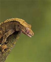 Crested Gecko (adecoleman) Tags: reptile gecko crestedgecko indoor studio captivelight milesherbert nature eyes green background