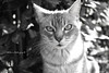 Coca Sarli, My Love / Coca Sarli, Mi Amor (Aldi Rodriguez) Tags: amor love cat gato kitty gatito felinos feline felines animals animales nature naturaleza wildlife vidasalvaje blackandwhite blancoynegro monocromo monochrome